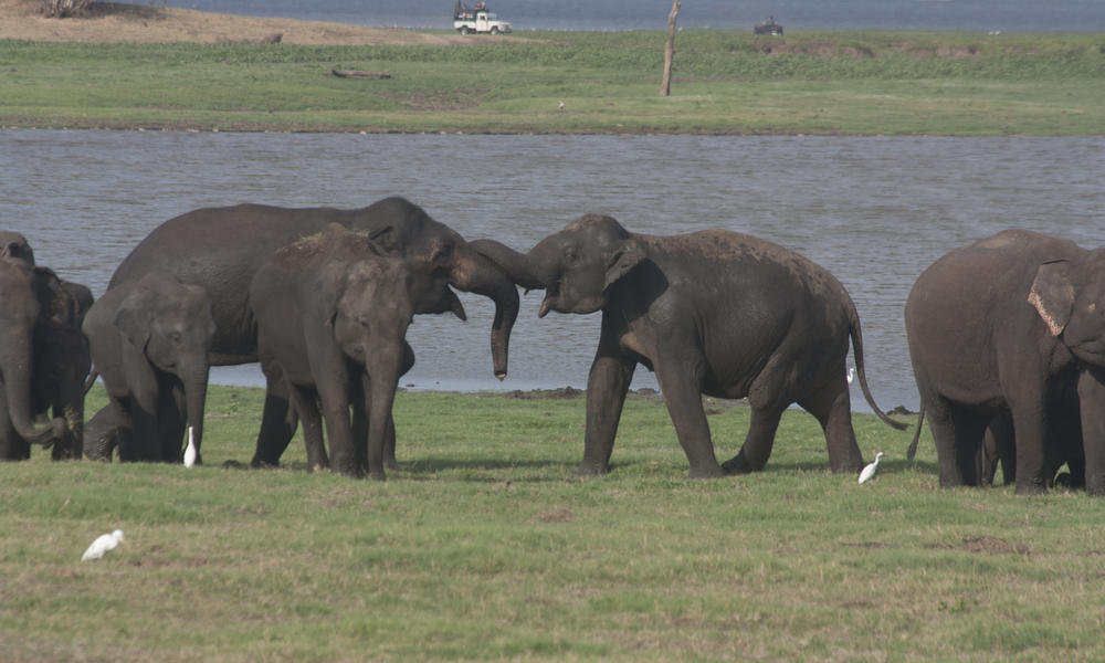 Sri Lanken Elephant