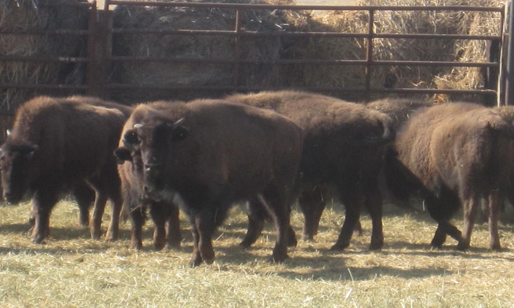 Bison in corral