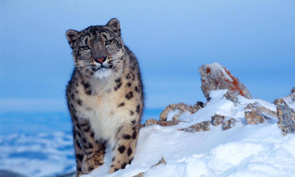 Snow Leopards, Snow Leopard Pictures, Snow Leopard Facts ...