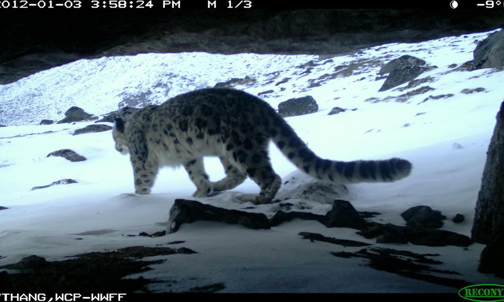 Snow leopard in Wangchuck Centennial Park