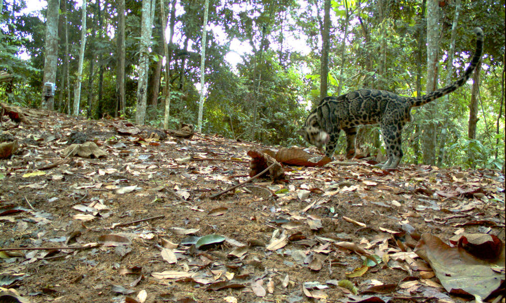 An image of a clouded leopard is snapped by a camera trap set deep in the jungle in Bukit Tigapuluh (also known as Thirty Hills), a forest area rapidly being cut down by industry. 