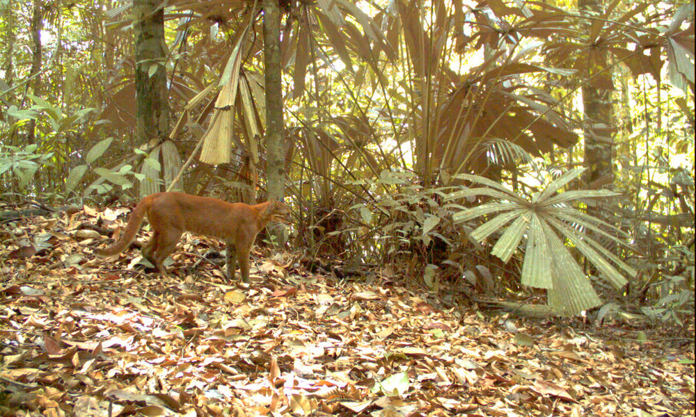 The Asiatic golden cat is rarely seen by people. It prefers to live in heavily forested areas far from human activity, areas becoming harder to find in Sumatra.