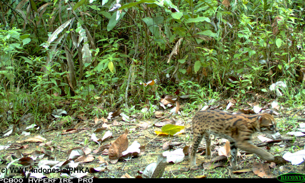 The leopard cat, along with the other four cat species in these photographs, is dependent on a densely forested habitat. However, the forests of Sumatra are experiencing the highest rate of deforestation in the world. 