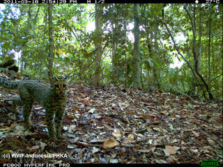 WWF is working hard to identify and document the amazing biodiversity of this region, including species such as this marbled cat, in order to help ensure that this area is appreciated and protected. 