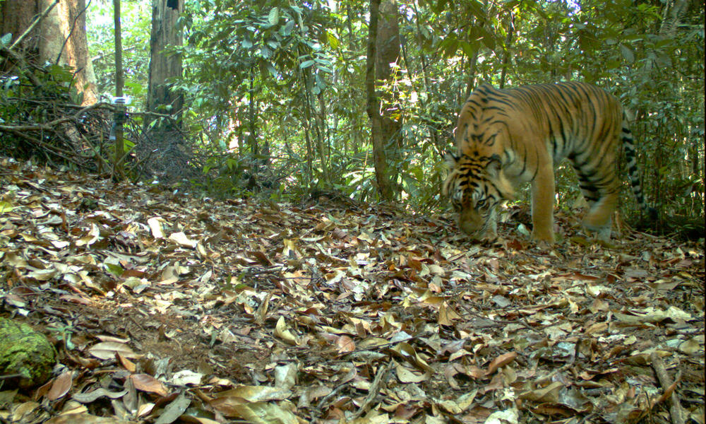 This Sumatran tiger lives in a region that timber company Barito Pacific has slated to cut down. Indonesia law states that concession areas with presence of endangered species, such as this tiger, should be protected. WWF is encouraging Barito Pacific to