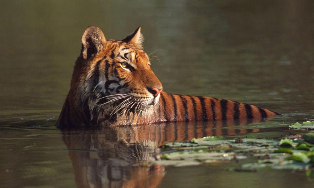 Tiger_08.23.2012_help