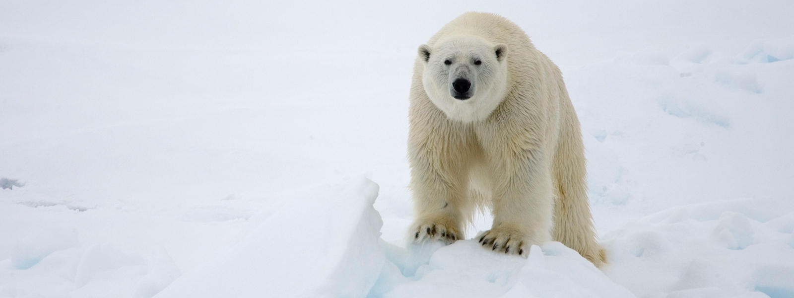 How Do Polar Bears Get Food And Water