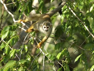 Squirrel monkey, Amapá, Brazil