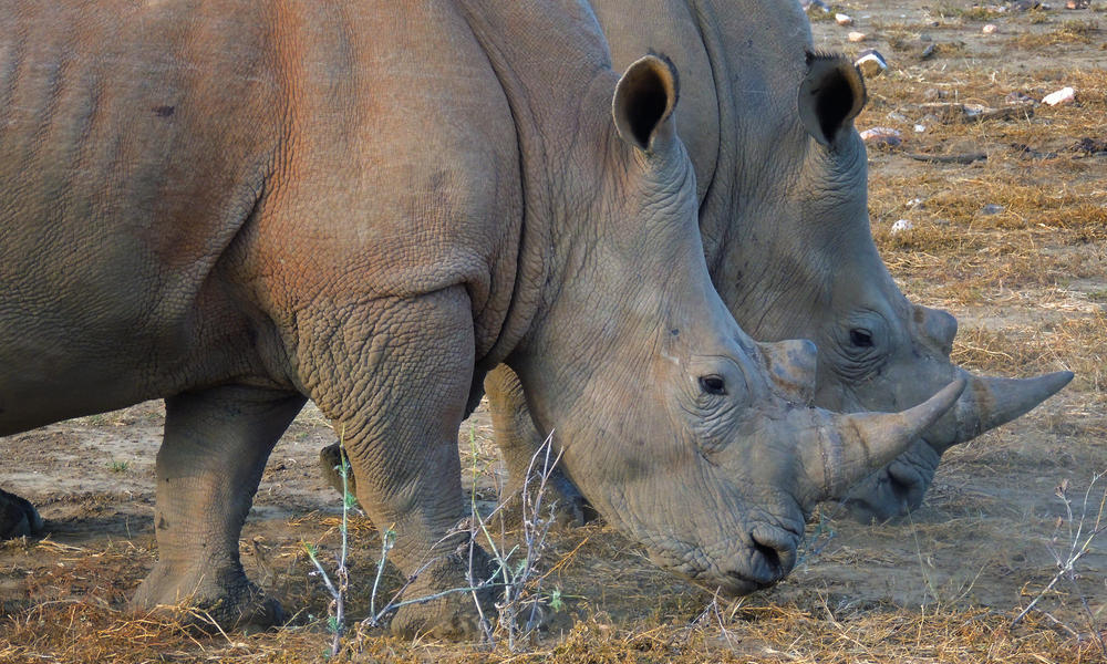 Rhinos in Namibia
