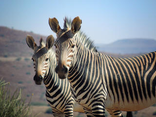 Zebras in Namibia