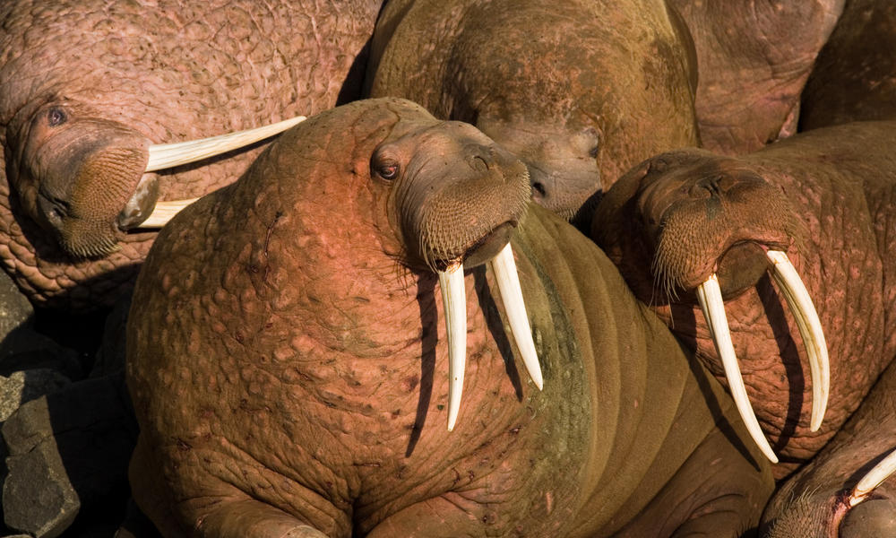 What is a walrus haulout and what does it mean for the planet?