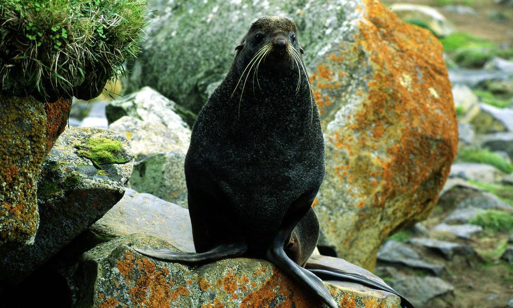 Northern fur seal (Callorhinus ursinus); Bering Sea, Arctic Ocean, Arctic