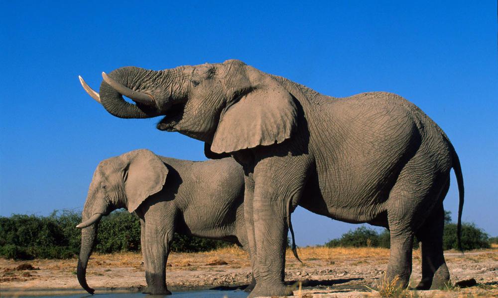 African elephant_58714_hero