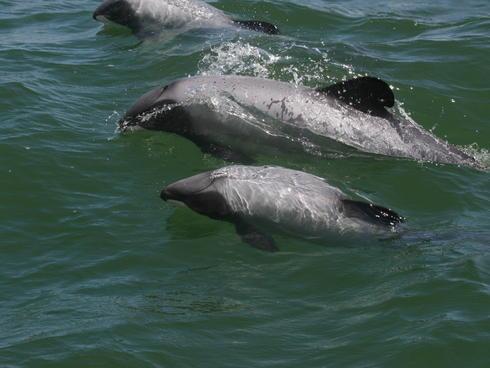 Maui's Dolphin
