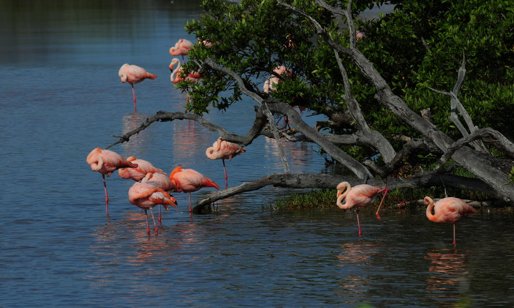Flamingoes in the Galapagos