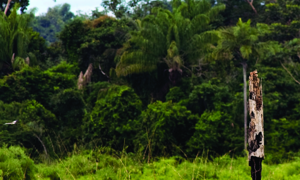 Cattle in pasture and forest, Alta Floresta, Brazil