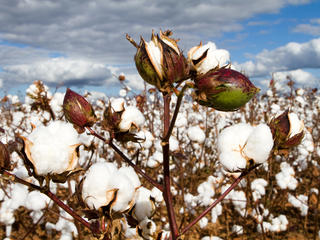 Cotton bolls in field