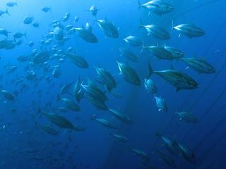 school of bigeye tuna