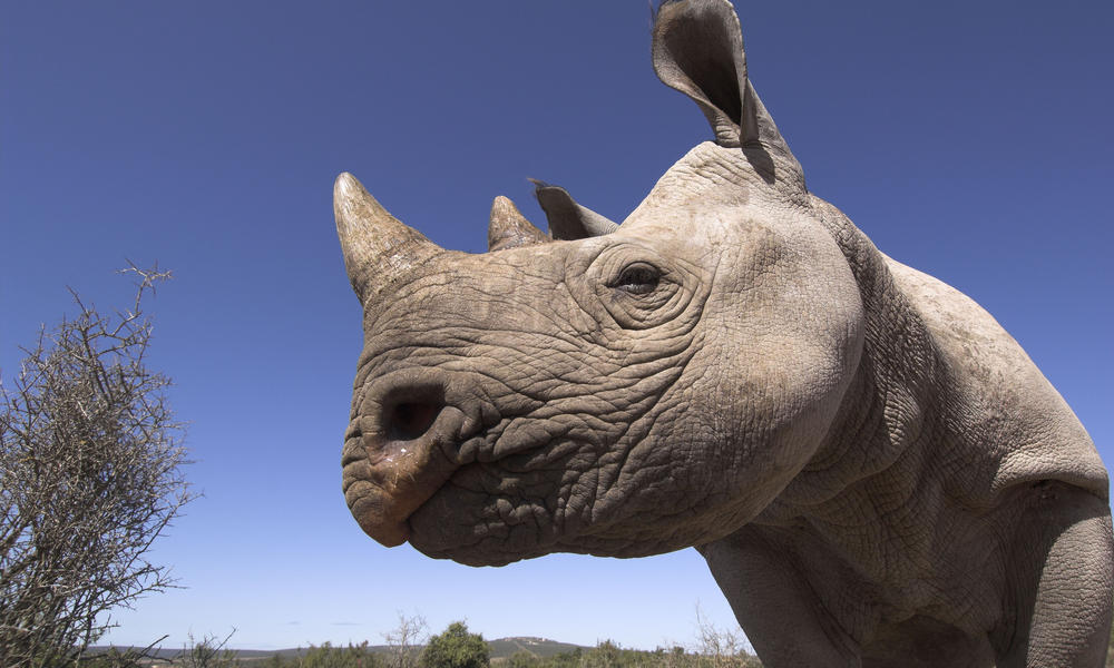 Black rhino in South Africa