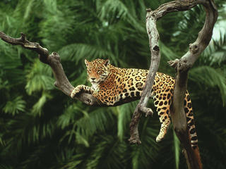 Jaguar in a tree