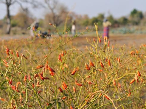 Chilli patch in Zambia