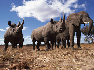 Rhinos and Elephant in Africa