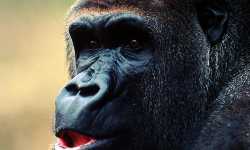Image result for cross river gorilla