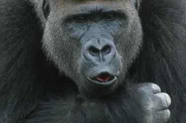 Moutain gorilla carousel image2 111938