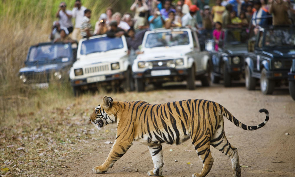 Bengal tiger crossing road in front of watching tourists,