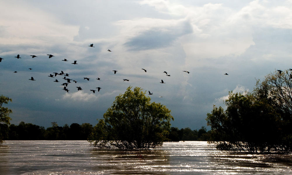 A flight of cormorants over the central section of the Lower Mekong Riverone of the last refuges for many threatened species, including the endemic and critically endangered Mekong Irrawaddy dolphin, Cantors giant softshell turtle, and white-shouldered 
