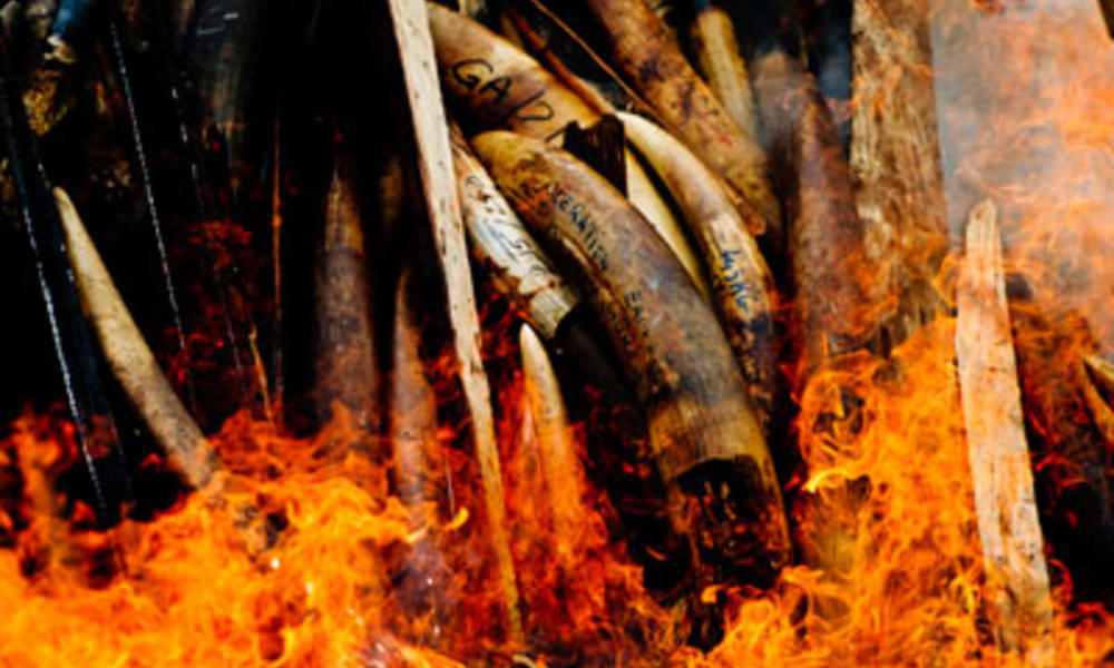 Gabon&#x27;s seized ivory goes up in smoke beckoning in a new era in the country&#x27;s commitment to put an end to poaching and other wild life crimes.
