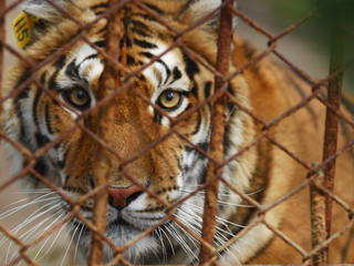Captive Tiger