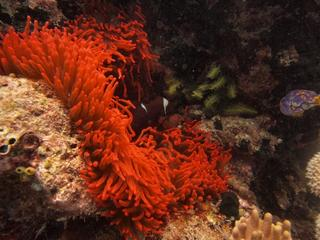 Anemone in Raja Ampat