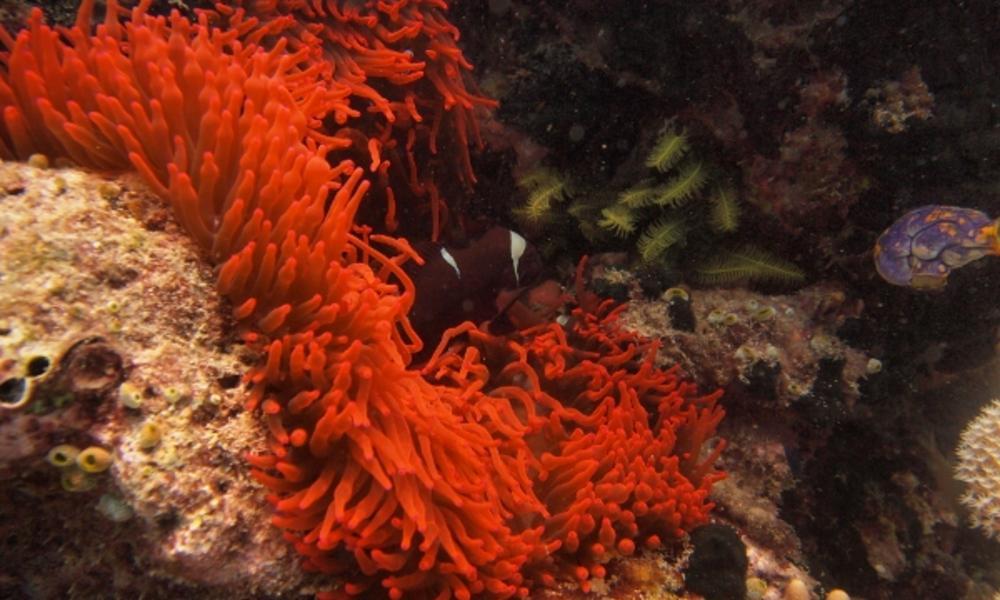 Anemone in Raja Ampat