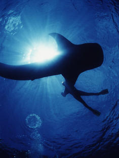 whale_shark_Coral_Triangle