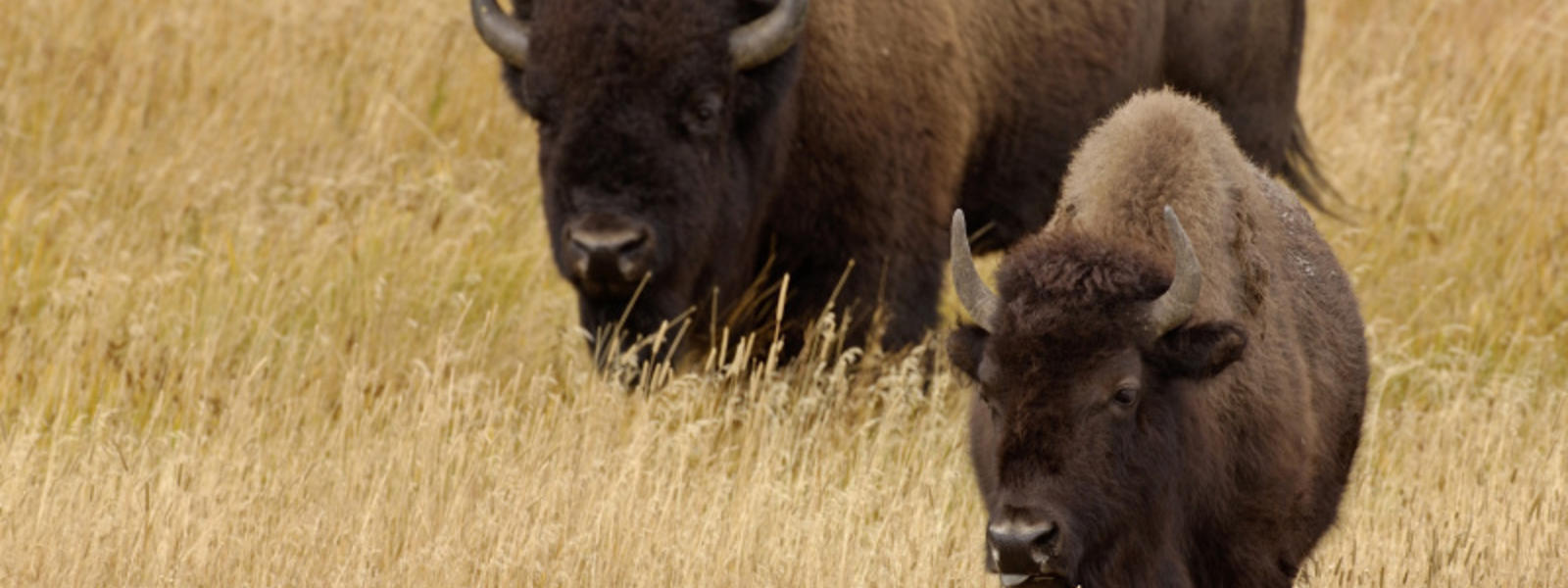 american great plains animals - photo #2