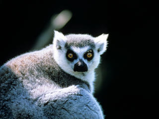 Ring-tailed lemur Madagascar
