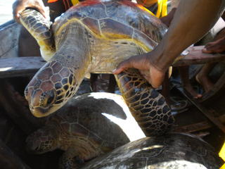 Green turtle Mozambique