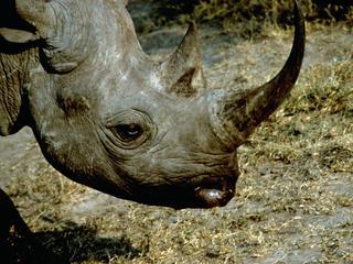 Black rhino (Diceros bicornis) profile. Masai Mara, Kenya
