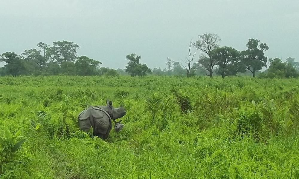 Rhino and calf Manas