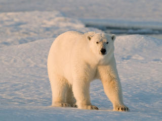Polar Bear Image