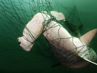 Hammerhead shark caught in a gillnet
