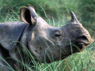 Small-rhino