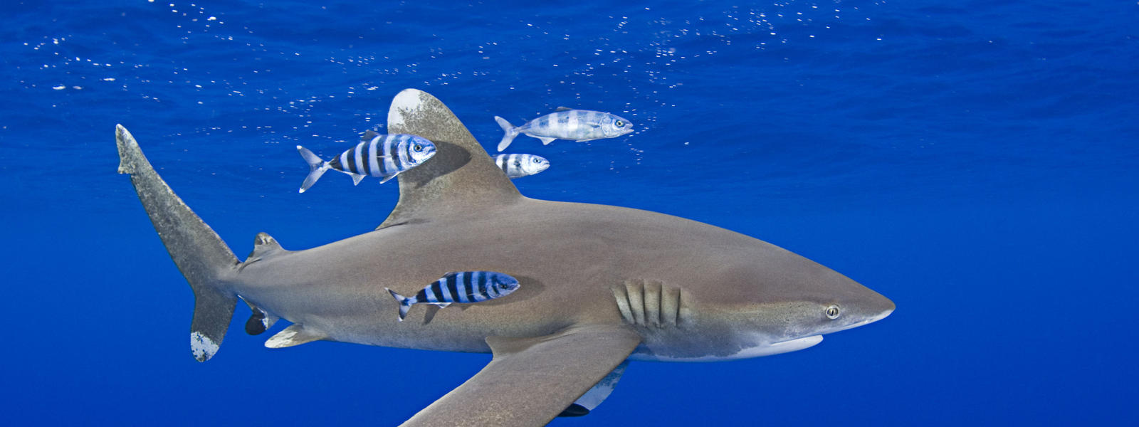shark species wwf whitetip shark