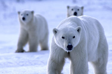 Polar_bear_threats_image3_202798