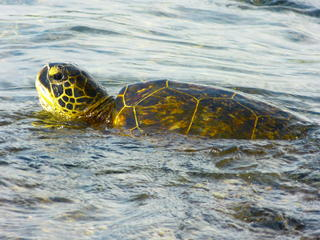 marine_turtle_hawaii_travel_blog