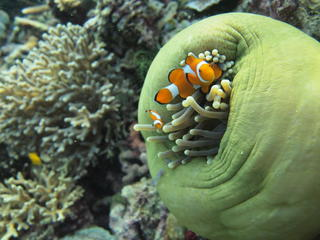 clownfish_in_anemone_Raja_Ampat_Coral Triangle_Stories
