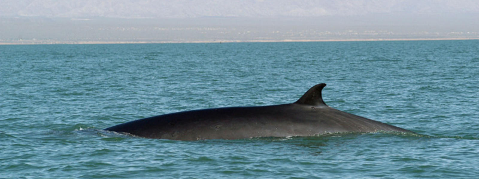 Fin Whale   Species   WWF