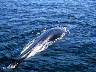 Fin Whale