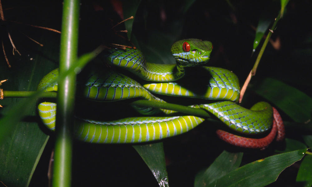 Ruby-eyed pit viper 